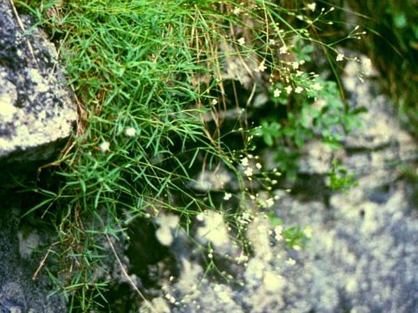 Creeping Baby's-Breath (Gypsophila Repens) https://www.sagebud.com/creeping-babys-breath-gypsophila-repens