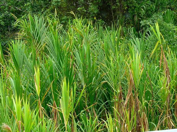 Wildcane (Gynerium Sagittatum) https://www.sagebud.com/wildcane-gynerium-sagittatum
