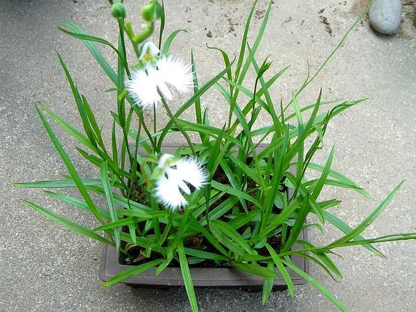 Bog Orchid (Habenaria) https://www.sagebud.com/bog-orchid-habenaria/