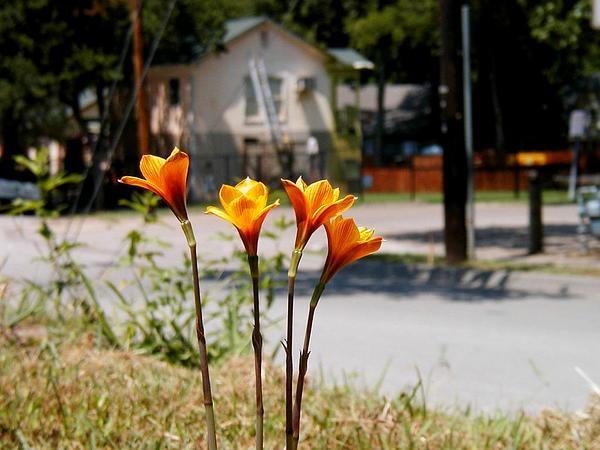 Copperlily (Habranthus) https://www.sagebud.com/copperlily-habranthus