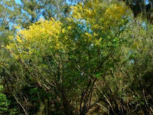 Bloodwoodtree (Haematoxylum Campechianum) https://www.sagebud.com/bloodwoodtree-haematoxylum-campechianum