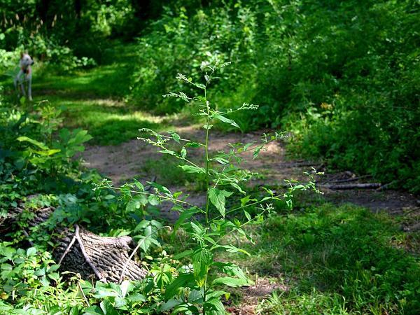 Stickseed (Hackelia) https://www.sagebud.com/stickseed-hackelia/