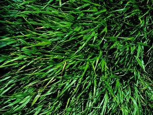 Pitscale Grass