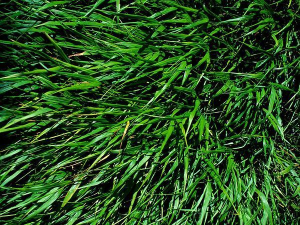 Pitscale Grass (Hackelochloa) https://www.sagebud.com/pitscale-grass-hackelochloa/