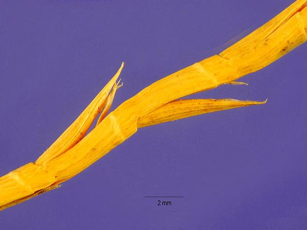 Barbgrass (Hainardia Cylindrica) https://www.sagebud.com/barbgrass-hainardia-cylindrica/