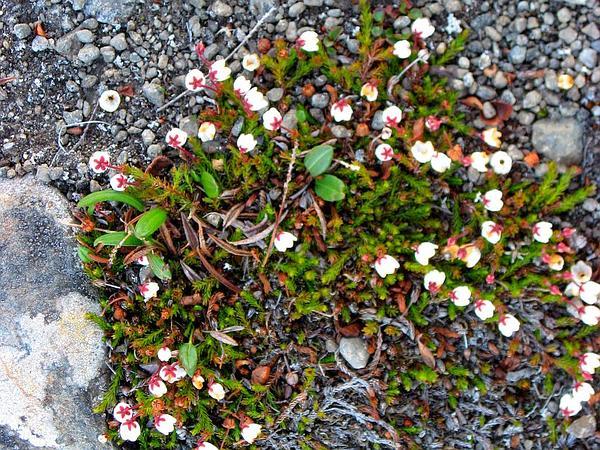 Mossplant (Harrimanella Hypnoides) https://www.sagebud.com/mossplant-harrimanella-hypnoides