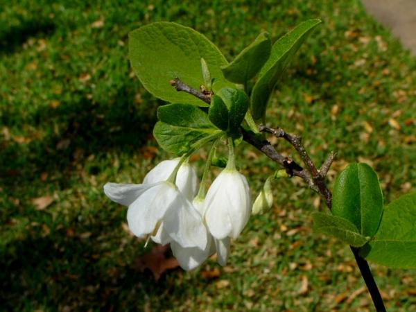 Silverbell (Halesia) https://www.sagebud.com/silverbell-halesia