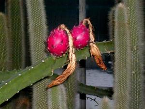 Applecactus