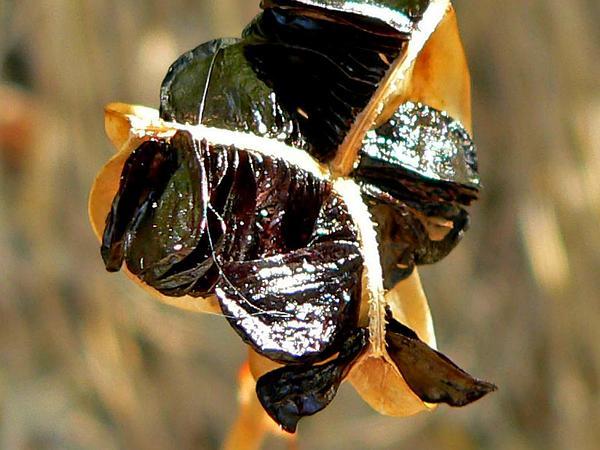 Rio Grande Copperlily (Habranthus Tubispathus) https://www.sagebud.com/rio-grande-copperlily-habranthus-tubispathus/