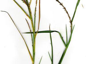 Limpograss
