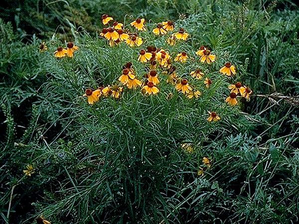 Yellowdicks (Helenium Amarum) https://www.sagebud.com/yellowdicks-helenium-amarum/