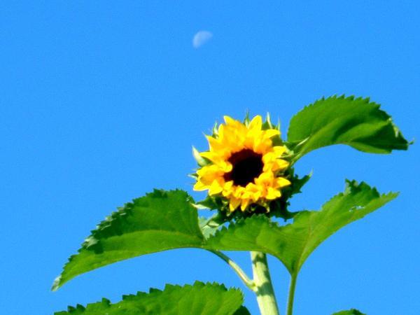 Common Sunflower (Helianthus Annuus) https://www.sagebud.com/common-sunflower-helianthus-annuus