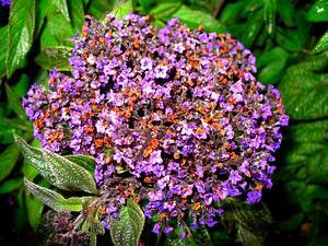Garden Heliotrope