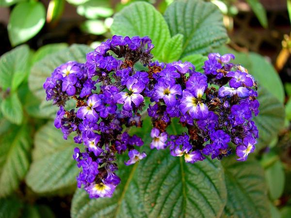 Garden Heliotrope (Heliotropium Arborescens) https://www.sagebud.com/garden-heliotrope-heliotropium-arborescens