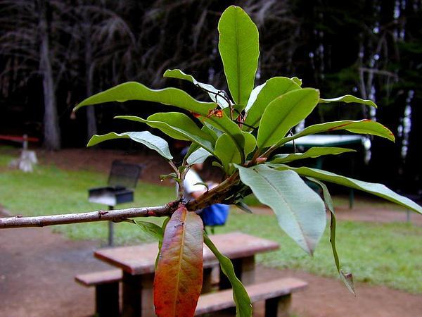 Toyon (Heteromeles Arbutifolia) https://www.sagebud.com/toyon-heteromeles-arbutifolia