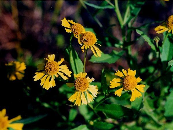 Common Sneezeweed (Helenium Autumnale) https://www.sagebud.com/common-sneezeweed-helenium-autumnale