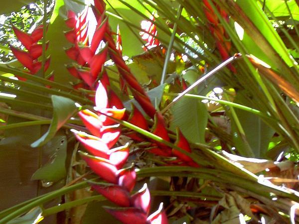 Macawflower (Heliconia Bihai) https://www.sagebud.com/macawflower-heliconia-bihai
