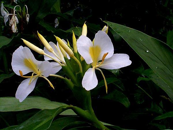 White Garland-Lily (Hedychium Coronarium) https://www.sagebud.com/white-garland-lily-hedychium-coronarium