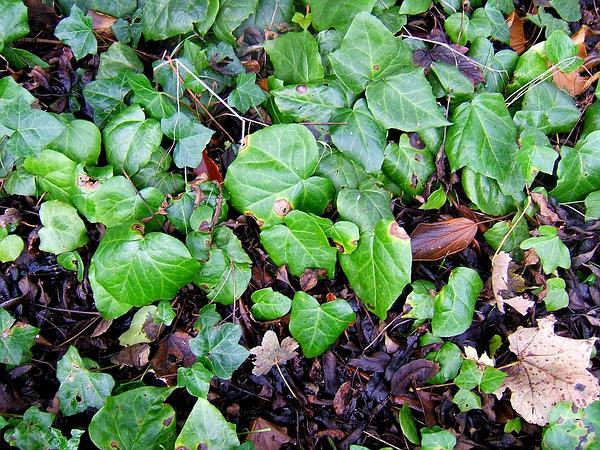 Colchis Ivy (Hedera Colchica) https://www.sagebud.com/colchis-ivy-hedera-colchica