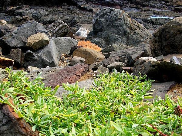 Salt Heliotrope (Heliotropium Curassavicum) https://www.sagebud.com/salt-heliotrope-heliotropium-curassavicum/