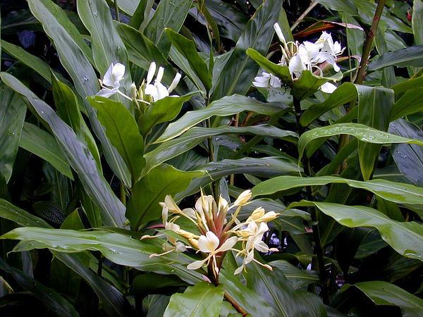 Garland-Lily (Hedychium) https://www.sagebud.com/garland-lily-hedychium
