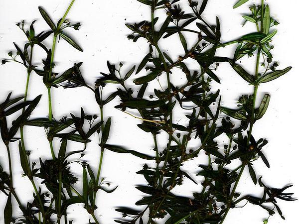 Starviolet (Hedyotis) https://www.sagebud.com/starviolet-hedyotis