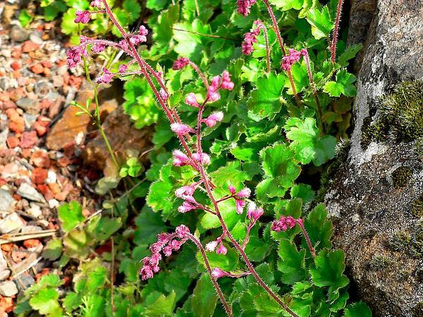 Urnflower Alumroot (Heuchera Elegans) https://www.sagebud.com/urnflower-alumroot-heuchera-elegans