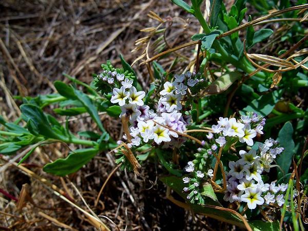 European Heliotrope (Heliotropium Europaeum) https://www.sagebud.com/european-heliotrope-heliotropium-europaeum