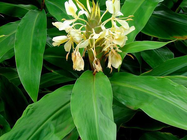 Cream Garland-Lily (Hedychium Flavescens) https://www.sagebud.com/cream-garland-lily-hedychium-flavescens