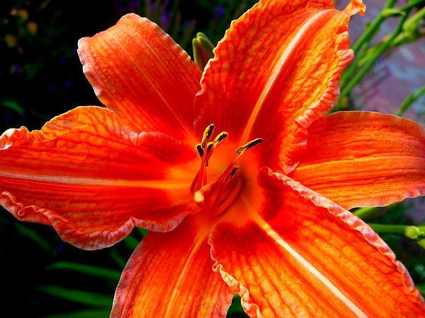 Orange Daylily (Hemerocallis Fulva) https://www.sagebud.com/orange-daylily-hemerocallis-fulva/