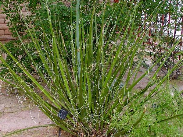 New Mexico False Yucca (Hesperaloe Funifera) https://www.sagebud.com/new-mexico-false-yucca-hesperaloe-funifera/