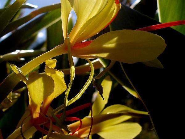 Kahila Garland-Lily (Hedychium Gardnerianum) https://www.sagebud.com/kahila-garland-lily-hedychium-gardnerianum