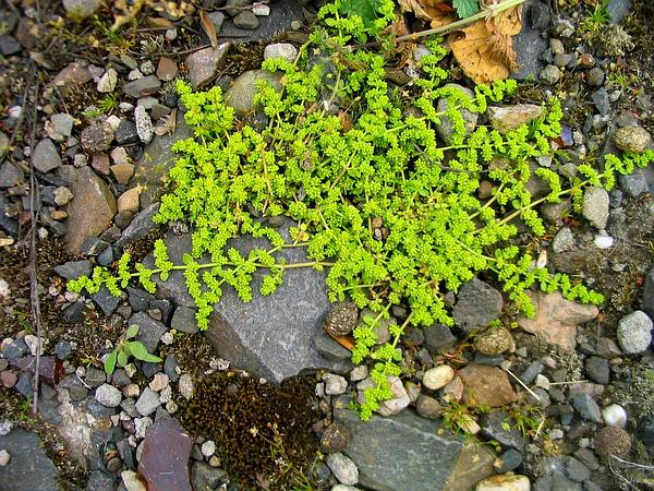Smooth Rupturewort (Herniaria Glabra) https://www.sagebud.com/smooth-rupturewort-herniaria-glabra/