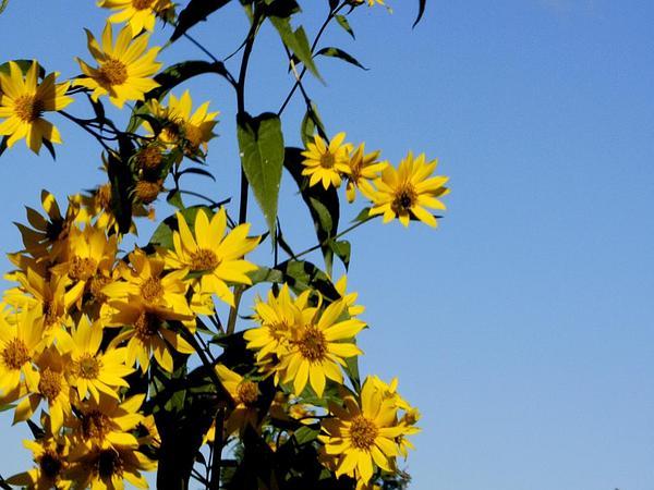Sawtooth Sunflower (Helianthus Grosseserratus) https://www.sagebud.com/sawtooth-sunflower-helianthus-grosseserratus