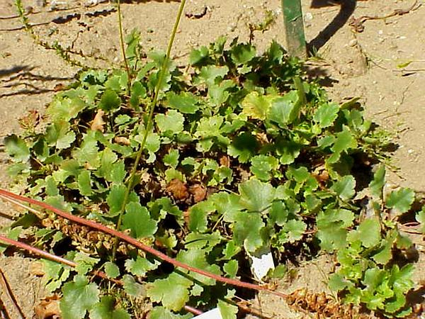 Gooseberryleaf Alumroot (Heuchera Grossulariifolia) https://www.sagebud.com/gooseberryleaf-alumroot-heuchera-grossulariifolia/
