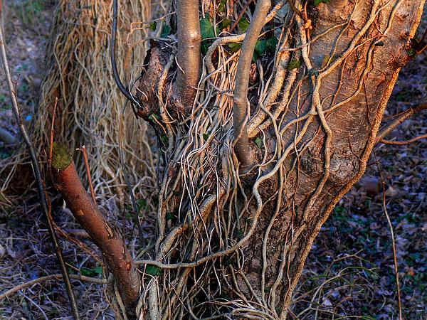 English Ivy (Hedera Helix) https://www.sagebud.com/english-ivy-hedera-helix