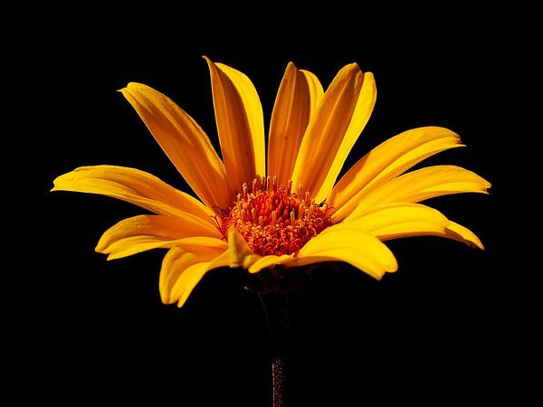 Smooth Oxeye (Heliopsis Helianthoides) https://www.sagebud.com/smooth-oxeye-heliopsis-helianthoides/