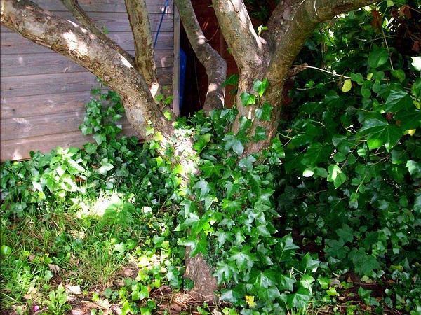 Atlantic Ivy (Hedera Hibernica) https://www.sagebud.com/atlantic-ivy-hedera-hibernica