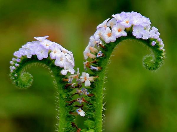 Indian Heliotrope (Heliotropium Indicum) https://www.sagebud.com/indian-heliotrope-heliotropium-indicum