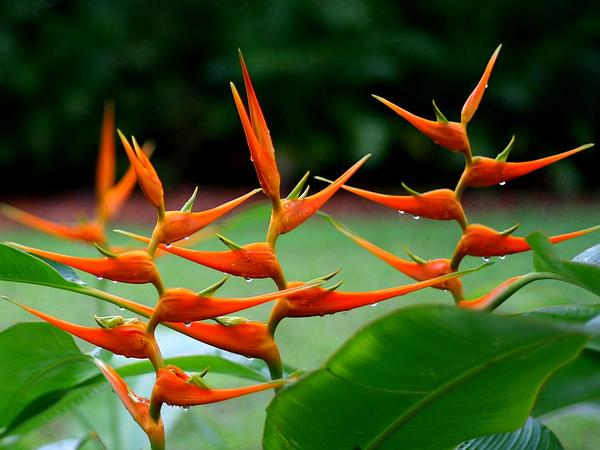 Expanded Lobsterclaw (Heliconia Latispatha) https://www.sagebud.com/expanded-lobsterclaw-heliconia-latispatha