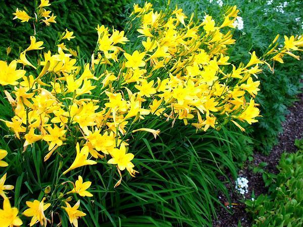 Yellow Daylily (Hemerocallis Lilioasphodelus) https://www.sagebud.com/yellow-daylily-hemerocallis-lilioasphodelus