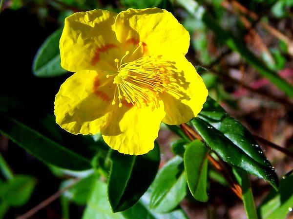 Frostweed (Helianthemum) https://www.sagebud.com/frostweed-helianthemum