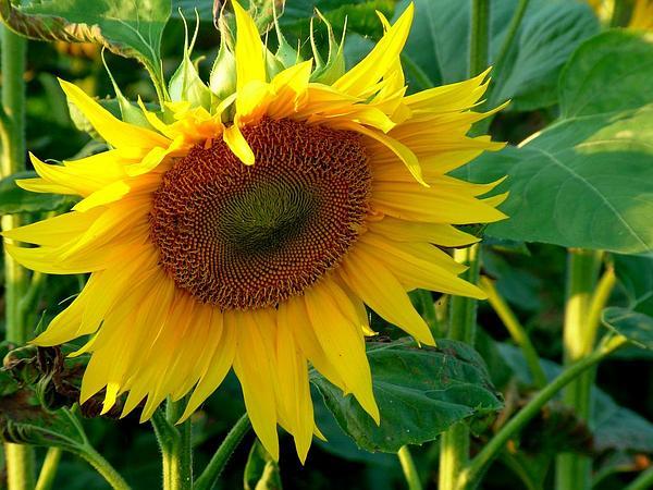 Sunflower (Helianthus) https://www.sagebud.com/sunflower-helianthus/