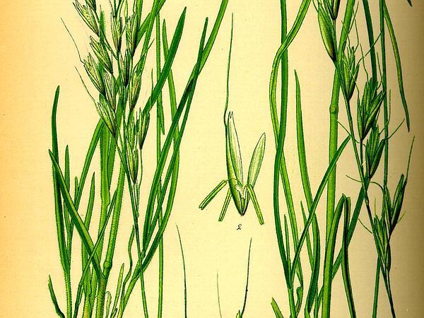 Alpine Oatgrass (Helictotrichon) https://www.sagebud.com/alpine-oatgrass-helictotrichon