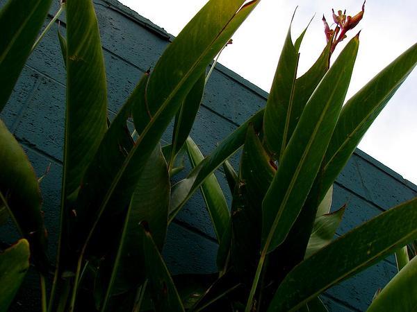 Heliconia (Heliconia) https://www.sagebud.com/heliconia-heliconia