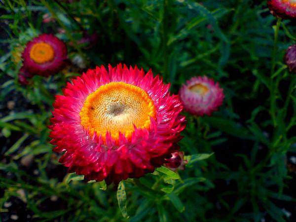 Strawflower (Helichrysum) https://www.sagebud.com/strawflower-helichrysum