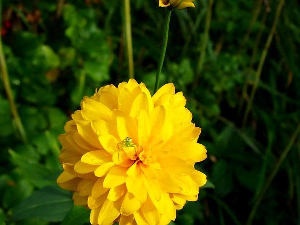 Heliopsis (Heliopsis) https://www.sagebud.com/heliopsis-heliopsis/