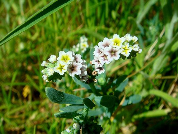 Heliotrope (Heliotropium) https://www.sagebud.com/heliotrope-heliotropium