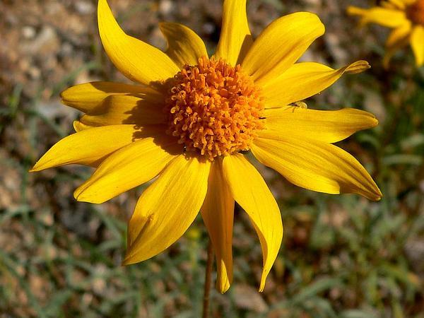 False Goldeneye (Heliomeris) https://www.sagebud.com/false-goldeneye-heliomeris/