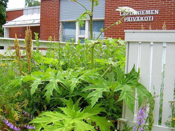 Giant Hogweed (Heracleum Mantegazzianum) https://www.sagebud.com/giant-hogweed-heracleum-mantegazzianum/
